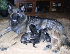 Shiloh Puppies