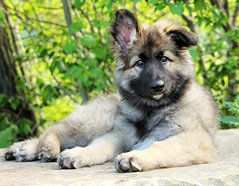 ISSDC Shiloh Shepherd Puppies
