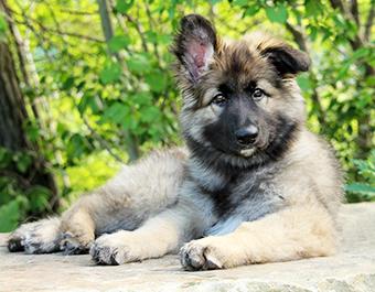 ISSDC Shiloh Shepherd Puppies